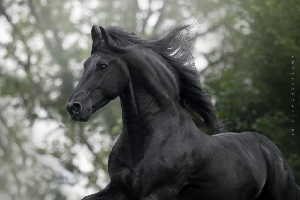 Fotografia koni, konie fryzyjskie, zdjęcia fryzów