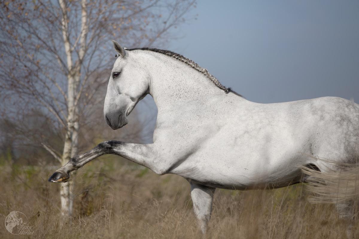 Fotografia jeździecka | Galeria najlepszych zdjęć koni. Zdjęcia Koni w galopie, portrety koni. Konie fryzyjskie, shire, tinkery, gypsy, andaluzy, araby i wiele innych.