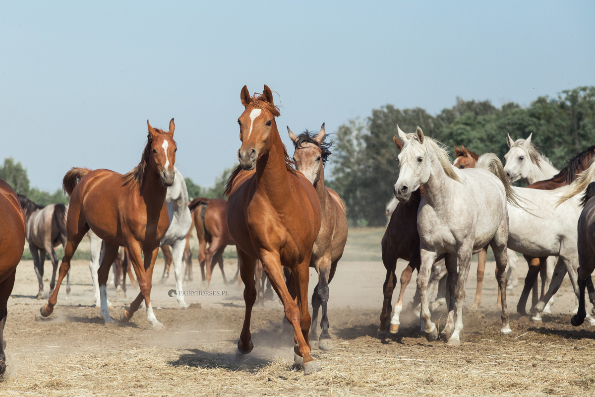 Hodowla koni arabskich Petronius Arabians