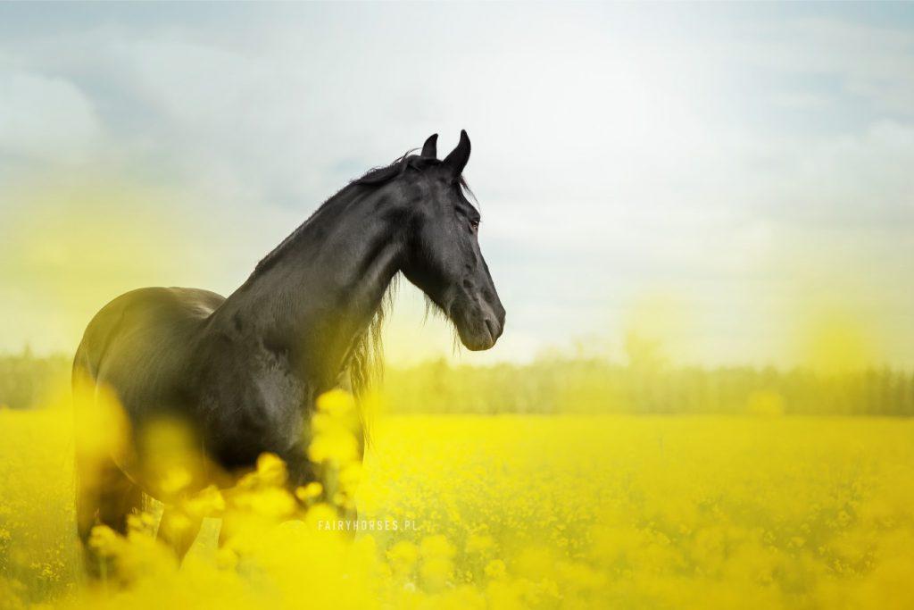 sesja konia w rzepaku, zdjęcia w rzepaku