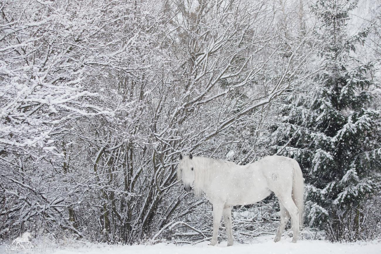Zimowe zdjęcia koni, fotografia koni zimą