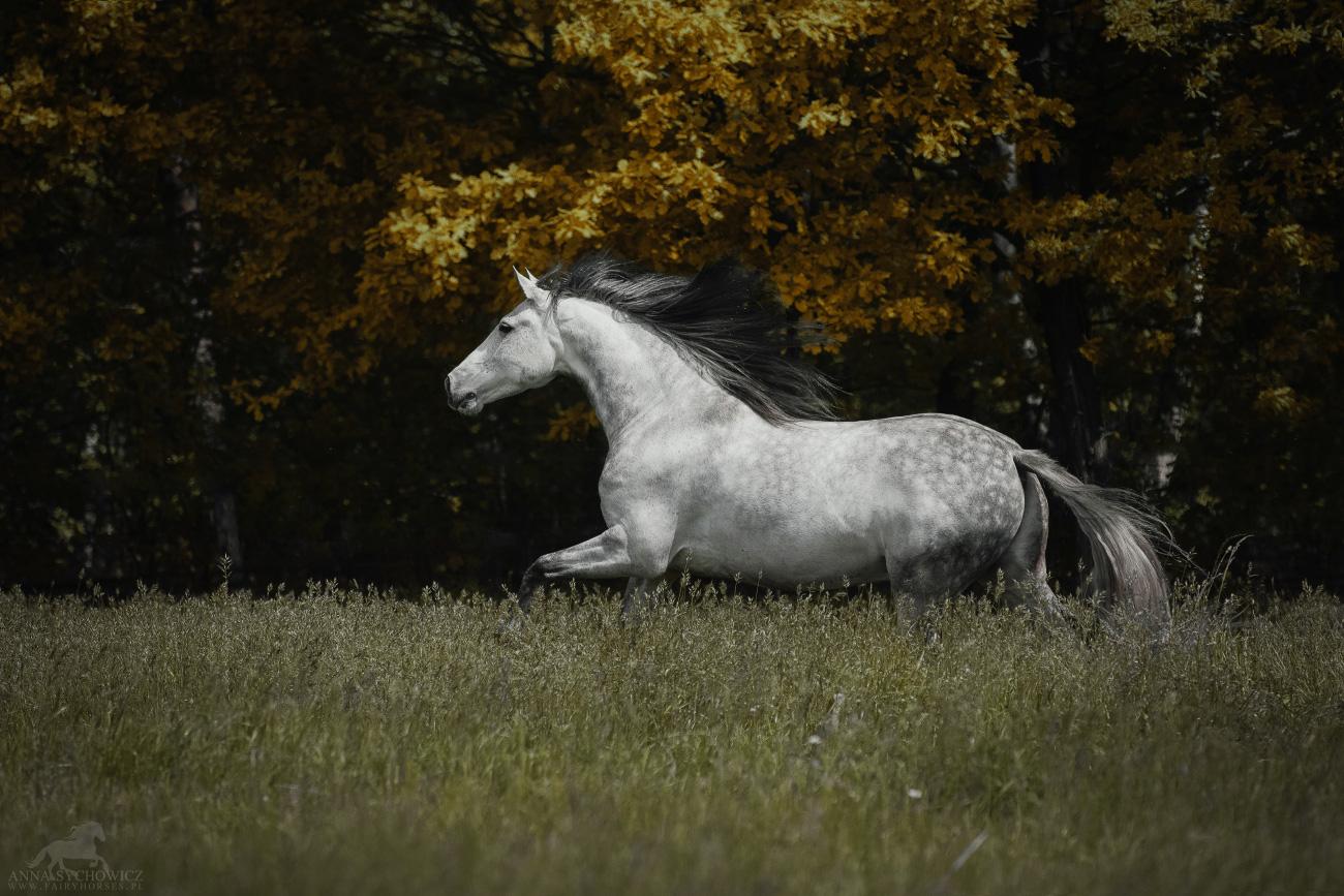 Profesjonalna fotografia koni.