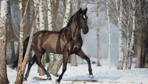 Hilariante – koń rasy lusitano