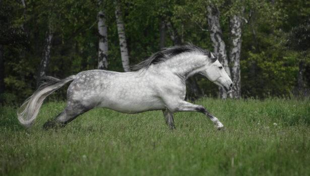 Brillante – sesja konia andaluzyjskiego