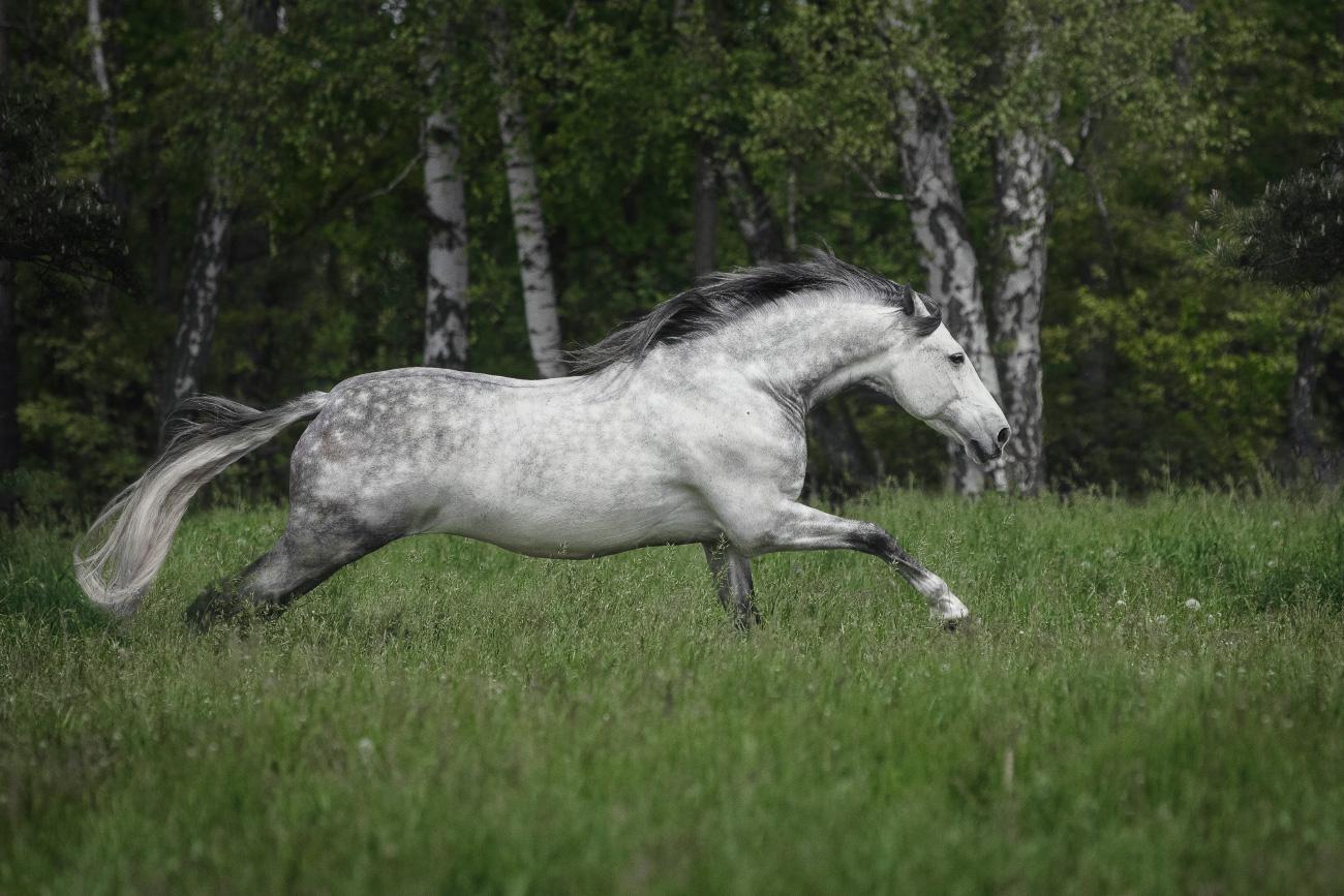 Konie andaluzyjskie, zdjęcia, fotografia koni
